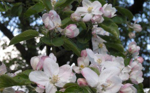kvetoucí sad