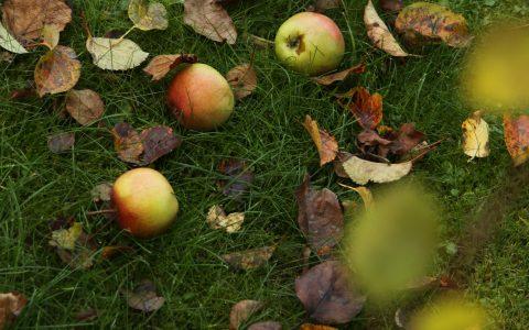 jablka v trávě