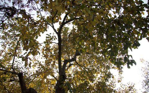 koruna stromů
