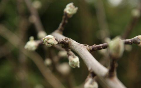 kvetoucí jabloň